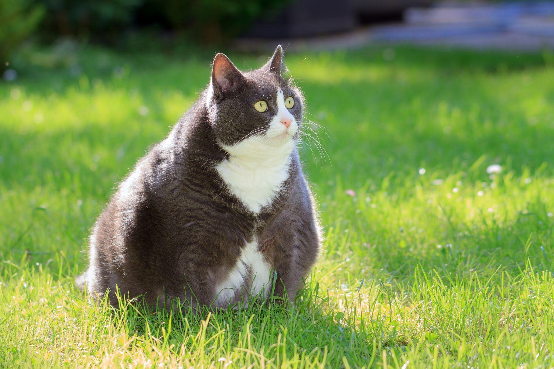 Eine übergewichtige Katze sitzt im Gras. Eine Mehrwertsteuer auf ungesunde Lebensmittel könnte ihren Besitzer ihre Ernährung überdenken lassen
